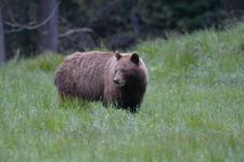 グランド・ティトン国立公園のブラックベアーの画像066