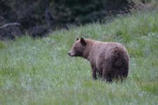 グランド・ティトン国立公園のブラックベアーの画像071
