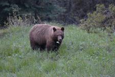 グランド・ティトン国立公園のブラックベアーの画像086