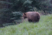グランド・ティトン国立公園のブラックベアーの画像088