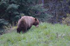 グランド・ティトン国立公園のブラックベアーの画像090