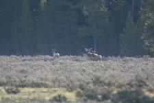 グランド・ティトン国立公園のエルクの画像001