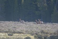 グランド・ティトン国立公園のエルクの画像002