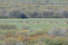 グランド・ティトン国立公園のエルクの画像003