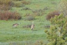グランド・ティトン国立公園のツルの画像001