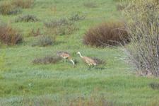 グランド・ティトン国立公園のツルの画像002