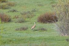 グランド・ティトン国立公園のツルの画像004