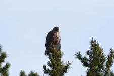 グランド・ティトン国立公園のアカオノスリの画像001