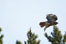 グランド・ティトン国立公園のアカオノスリの画像008
