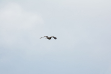 グランド・ティトン国立公園のアカオノスリの画像010
