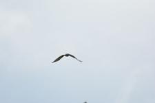 グランド・ティトン国立公園のアカオノスリの画像011