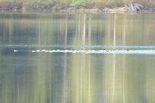 グランド・ティトン国立公園のカモの画像001