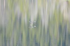 グランド・ティトン国立公園のカモの画像002
