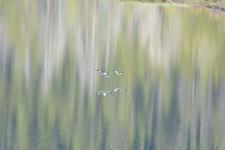 グランド・ティトン国立公園のカモの画像003