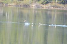 グランド・ティトン国立公園のカモの画像004