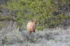 グランド・ティトン国立公園のエルクの画像004