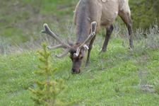 イエローストーン国立公園のエルクの画像022