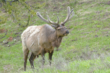 イエローストーン国立公園のエルクの画像029