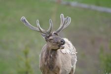 イエローストーン国立公園のエルクの画像032