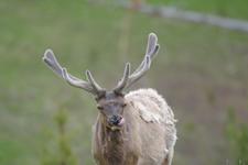 イエローストーン国立公園のエルクの画像033
