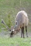 イエローストーン国立公園のエルクの画像034