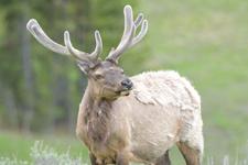 イエローストーン国立公園のエルクの画像035