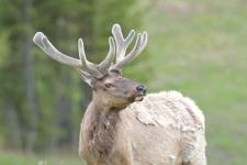 イエローストーン国立公園のエルクの画像036