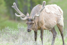 イエローストーン国立公園のエルクの画像037