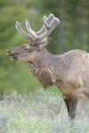 イエローストーン国立公園のエルクの画像039