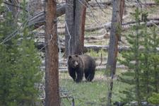 イエローストーン国立公園のグリズリーの画像001