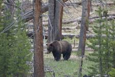 イエローストーン国立公園のグリズリーの画像002
