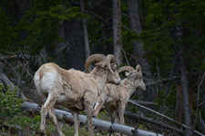 イエローストーン国立公園のオオツノヒツジの画像005