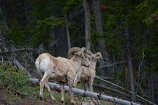 イエローストーン国立公園のオオツノヒツジの画像006