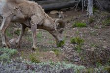 イエローストーン国立公園のオオツノヒツジの画像008
