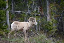 イエローストーン国立公園のオオツノヒツジの画像009