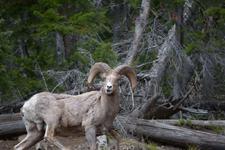 イエローストーン国立公園のオオツノヒツジの画像010