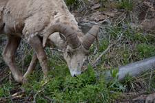 イエローストーン国立公園のオオツノヒツジの画像015