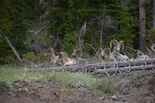 イエローストーン国立公園のオオツノヒツジの画像016