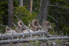 イエローストーン国立公園のオオツノヒツジの画像017