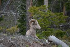 イエローストーン国立公園のオオツノヒツジの画像018