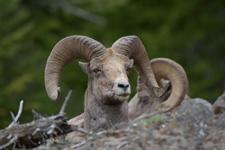 イエローストーン国立公園のオオツノヒツジの画像019