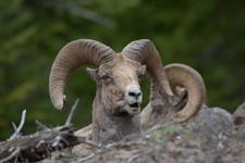 イエローストーン国立公園のオオツノヒツジの画像020