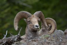 イエローストーン国立公園のオオツノヒツジの画像021