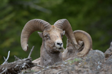 イエローストーン国立公園のオオツノヒツジの画像022