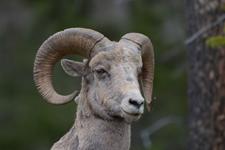 イエローストーン国立公園のオオツノヒツジの画像024