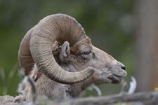 イエローストーン国立公園のオオツノヒツジの画像026