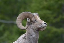 イエローストーン国立公園のオオツノヒツジの画像027