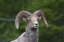 イエローストーン国立公園のオオツノヒツジの画像028