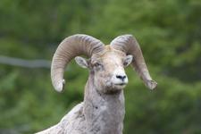 イエローストーン国立公園のオオツノヒツジの画像029