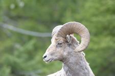 イエローストーン国立公園のオオツノヒツジの画像030